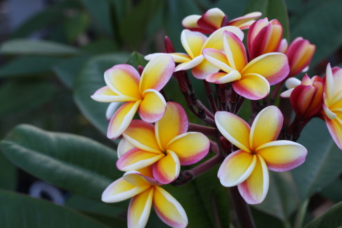 Plumeria on tree